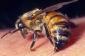 Göygöldə 32 yaşlı kişi arı sancmasından ölüb