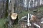 Qusarda ağacların kəsilməsi ilə bağlı araşdırma aparılır