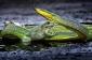Alimlər: Suda-quruda yaşayanlar arasında epidemiya tropik ərazilərdə ilanların azalmasına səbəb olub