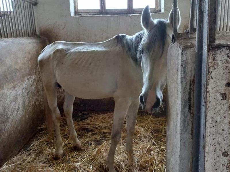 Atçılıq Mərkəzindəki atlar niyə acından ölür? - Nazirlikdən açıqlama