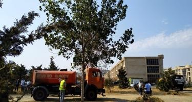 Nərimanov RİH-dən ağacların quruması xəbərlərinə reaksiya - FOTO