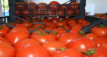 Tonlarla pomidor anbarlarda qalıb - Yerində 20 qəpiyə təklif edilən məhsul bazarlarda niyə 2 manatadır? - VİDEO
