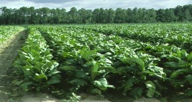 Azad olunan ərazilərdə tütünçülüyün inkişafı müzakirə edilib - FOTO