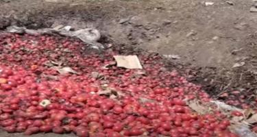 Tovuzda tonlarla pomidor məhv olur - VİDEO