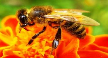Bal arısı zəhərinin faydaları