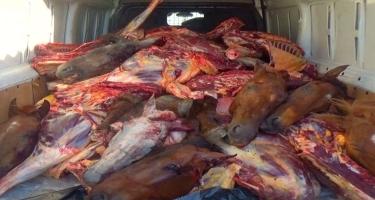 4 ton yararsız at ətini mal əti adı altında satmaq istəyirdilər... - Cinayətkarlar saxlanıldı - FOTO