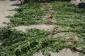 Meşədə gizli şəkildə narkotik tərkibli bitkilər becərən şəxs saxlanılıb