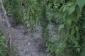 Dirrikdə narkotik becərən Balakən sakini saxlanıldı (FOTO/VİDEO)