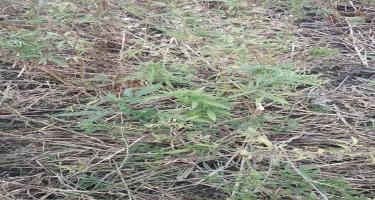 """""""Xaş-xaş 2019"""": 2 tondan artıq narkotik bitki yandırıldı (FOTO)"""