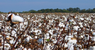Ölkədə Çin texnologiyası əsasında becərilmiş pambığın yığımına start verilib