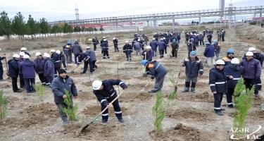 Sumqayıtda ağacəkmə aksiyası davam edir (FOTO)