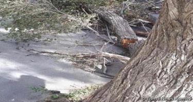 İsmayıllıda güclü külək meşə ağaclarına ziyan vurub