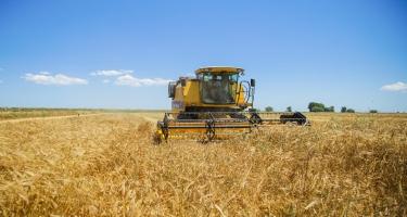 Bu günədək 181 min hektar ərazidə taxıl biçini aparılıb